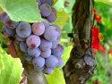 Vinicultura